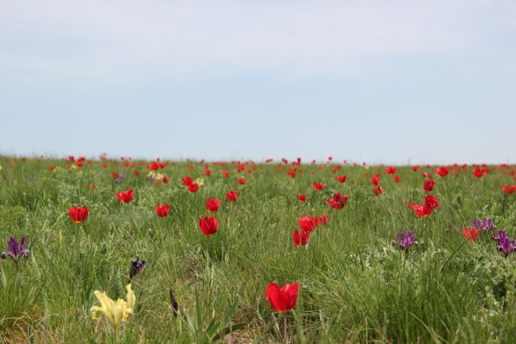 Путешествие в Калмыкию: фестиваль цветущих тюльпанов!